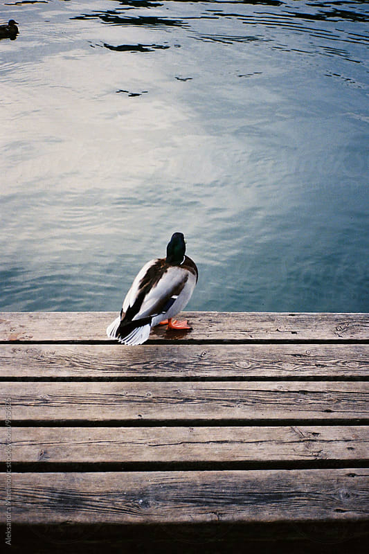 Duck by the lake by Aleksandra Martinovic for Stocksy United