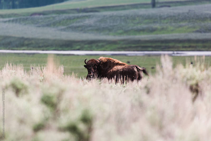 Bison in the wilderness by michela ravasio for Stocksy United