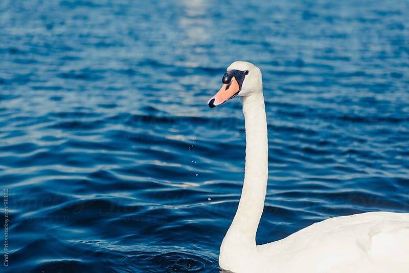 Closeup of a white swan in the lake by Cindy Prins for Stocksy United