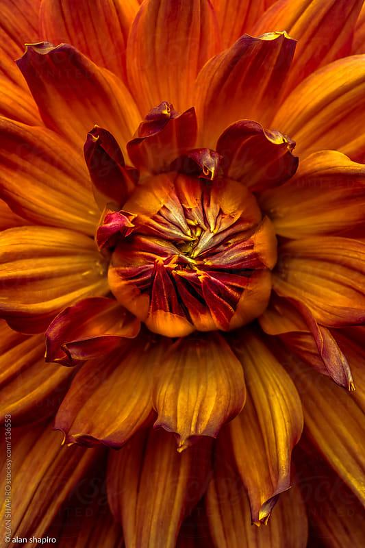 orange dahlia by alan shapiro for Stocksy United