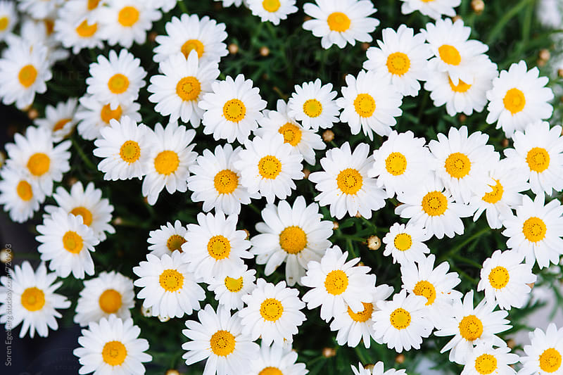 Daisies in bloom background by Soren Egeberg for Stocksy United