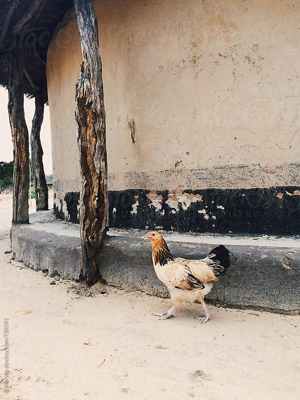 Wild Chicken in Zimbabwe by B. Harvey for Stocksy United