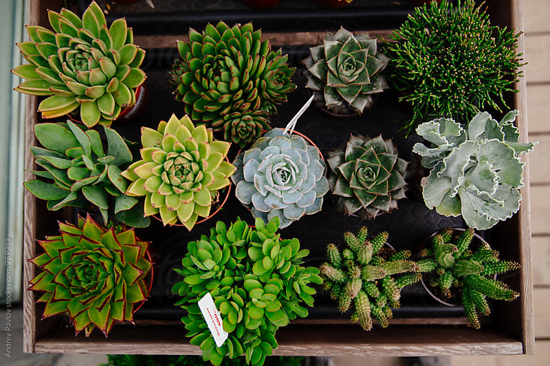 Variations of succulents by Andrey Pavlov for Stocksy United