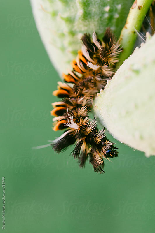 milkweed tussock caterpillars crawling on a milkweed plant by Deirdre Malfatto for Stocksy United