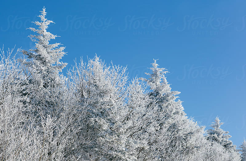 snow covered trees by Kelly Knox for Stocksy United