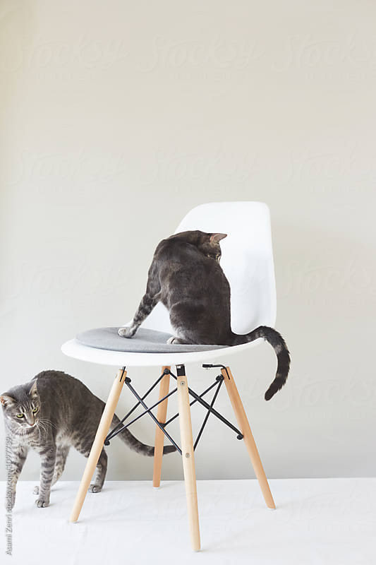 Tabby cats by Asami Zenri for Stocksy United