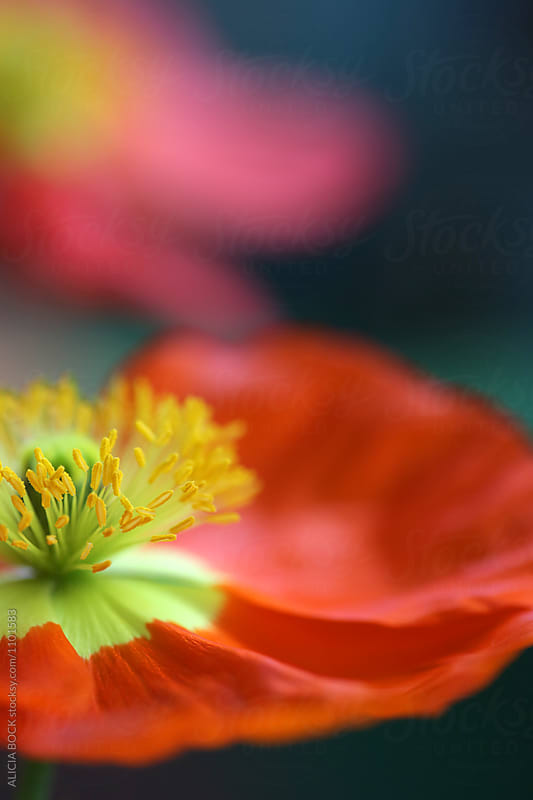 Close Up Of A Vibrant Iceland Poppy Flower by ALICIA BOCK for Stocksy United