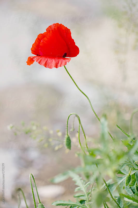 Papaver rhoeas in bloom by Laura Stolfi for Stocksy United