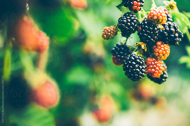 Blackberries in the garden by CACTUS Blai Baules for Stocksy United