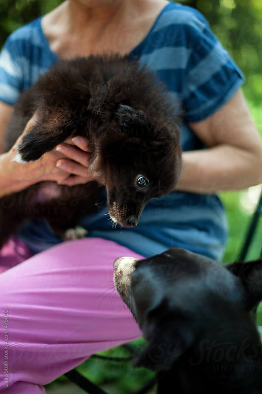 Pomeranian pup sitting on woman's legs tries to reach an adult dog in garden by Laura Stolfi for Stocksy United