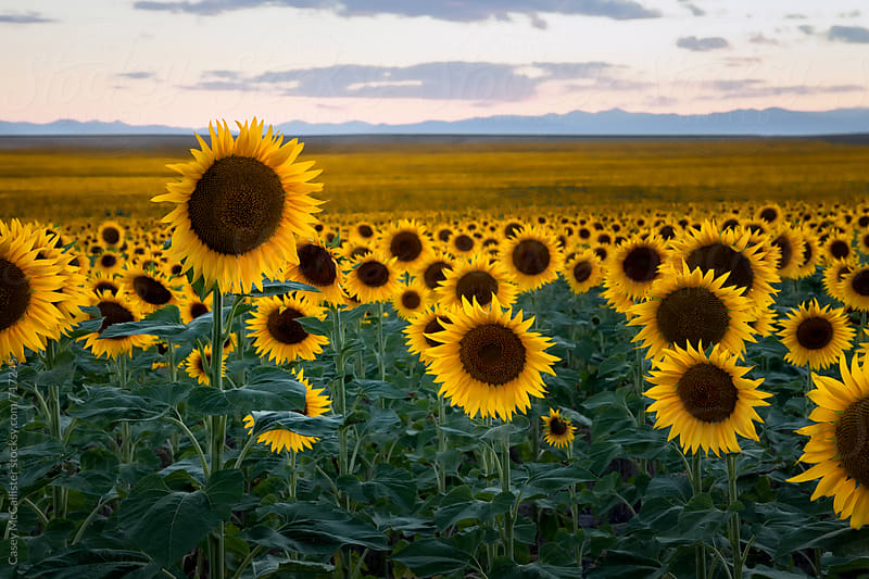 Sunflower Field by Casey McCallister for Stocksy United