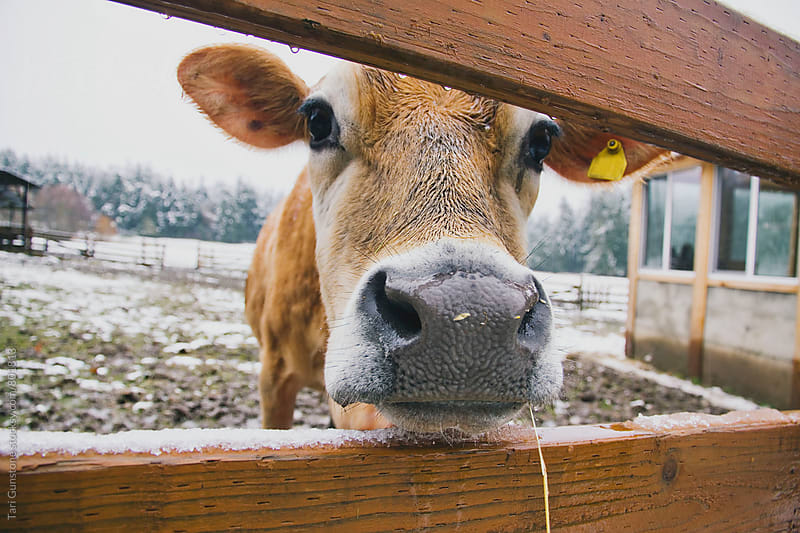 Dairy cow looking through fence by Tari Gunstone for Stocksy United