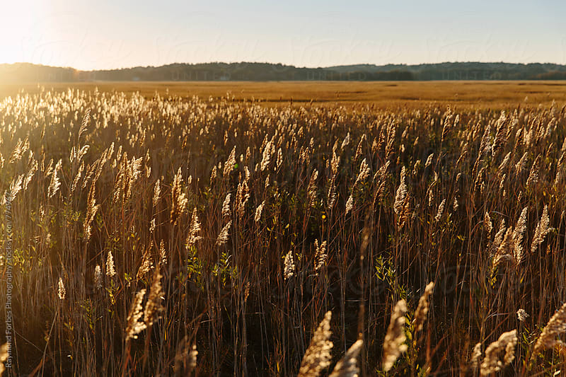 New England Marsh in Fall by Raymond Forbes LLC for Stocksy United