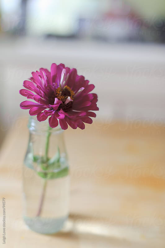 A Pink/Purple Zinnia in a Glass Jar  by Leigh Love for Stocksy United