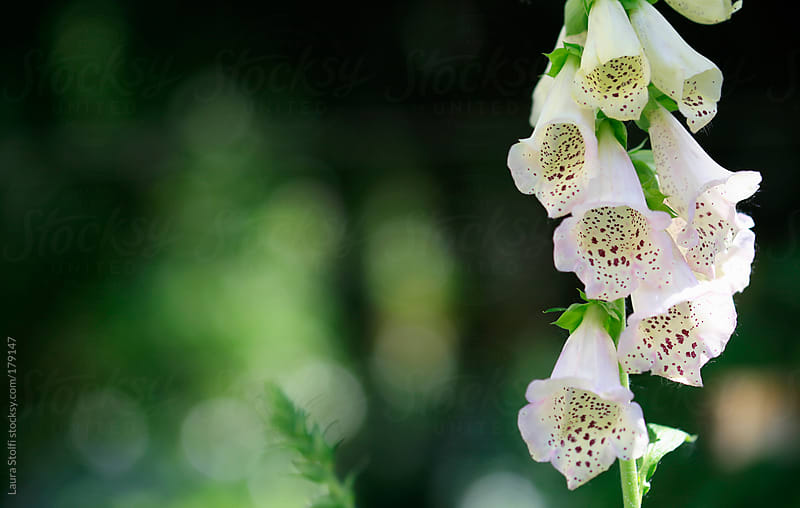 Foxglove in bloom on green background by Laura Stolfi for Stocksy United