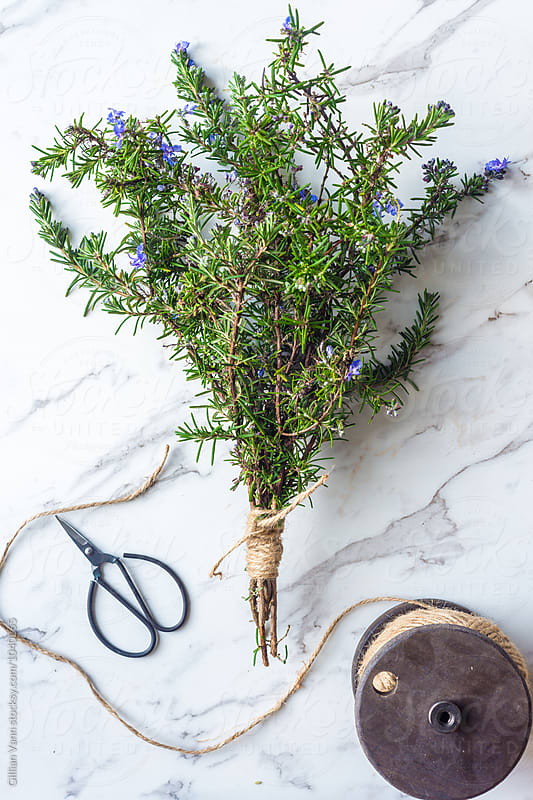 making a bouquet of rosemary, with string and scissors by Gillian Vann for Stocksy United