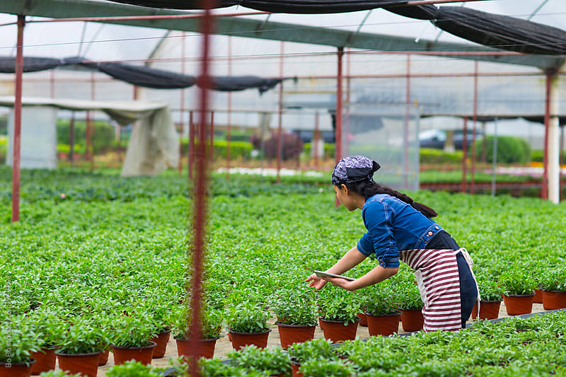 young asian female florist working in the nursery by cuiyan Liu for Stocksy United