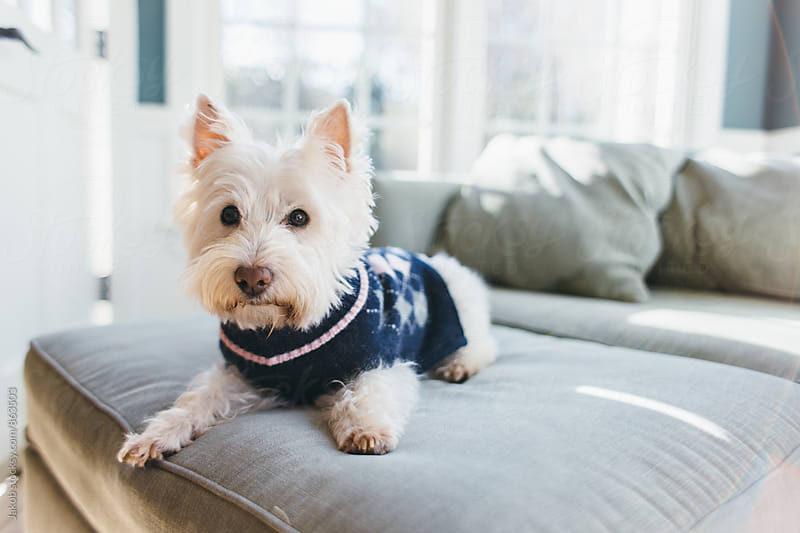 Cute small white dog in a winter sweater by Jakob for Stocksy United
