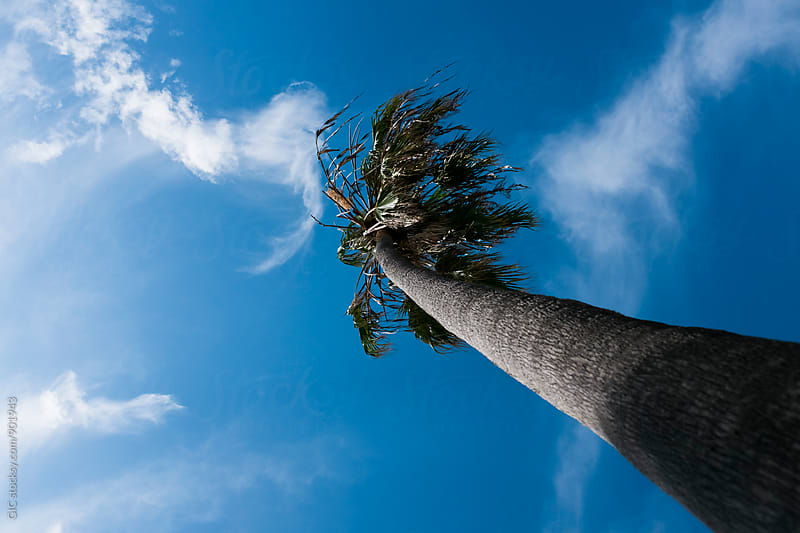 Palm against blue sky by Simone Becchetti for Stocksy United