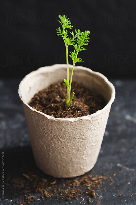 Carrot seedling growing in peat pot by Dobránska Renáta for Stocksy United