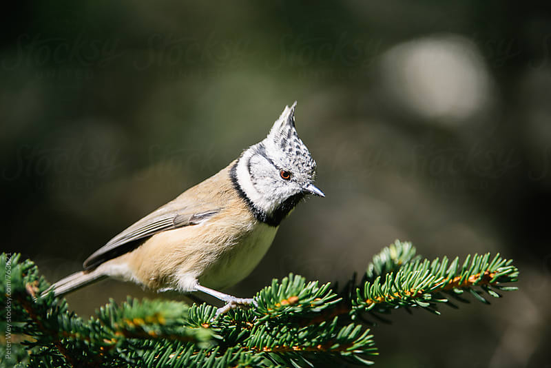 European crested tit by Peter Wey for Stocksy United