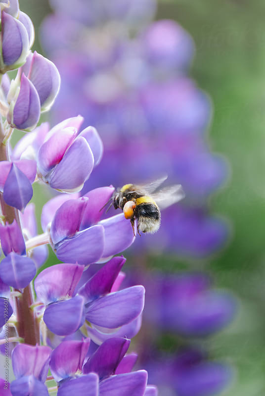 Bee collecting pollen from a vibrant purple lupine flower by Rebecca Spencer for Stocksy United