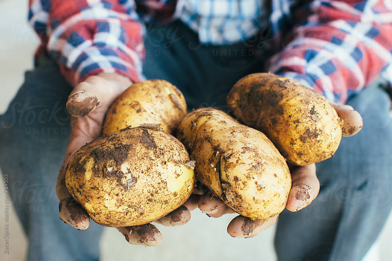 Hands holding freshly organic  potatoes by Zocky for Stocksy United