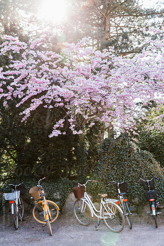 Five bicycles parked under a cherry tree by Lior + Lone for Stocksy United