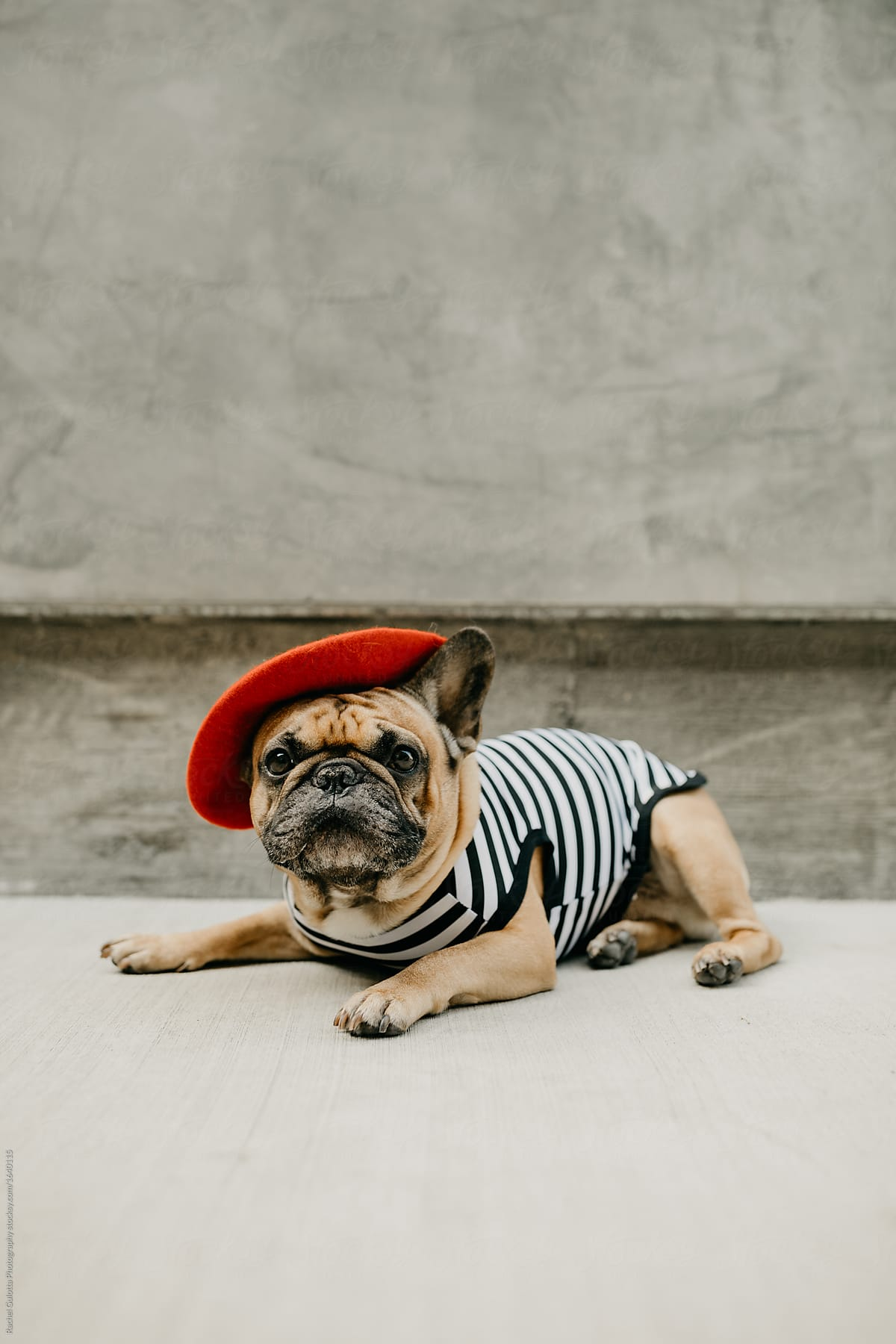French Bulldog Dressed Up In A French Costume Striped Shirt And Red Beret By Mango Street Lab Dog Halloween Stocksy United