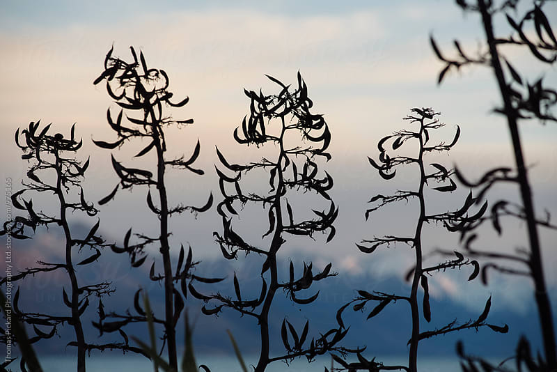 Flax plants at sunset, Lake Pukaki New Zealand. by Thomas Pickard for Stocksy United