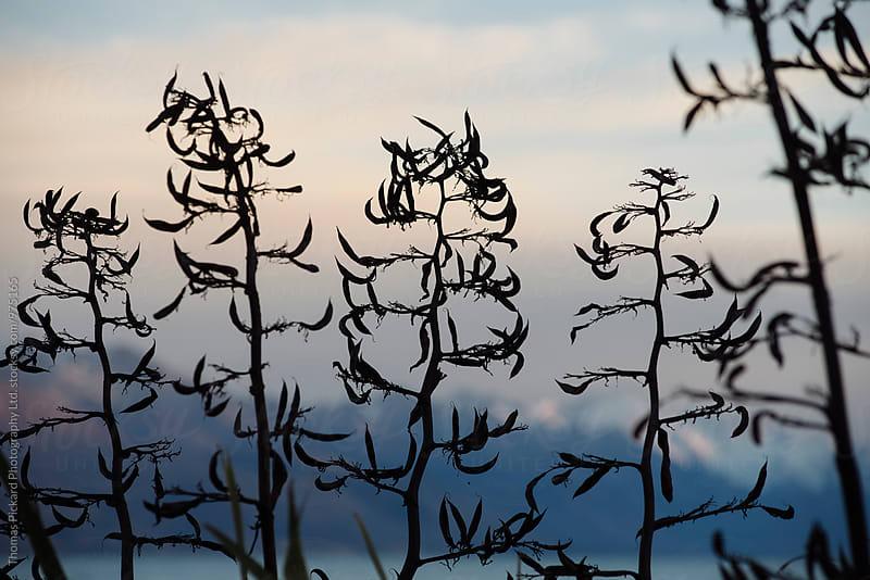 Flax plants at sunset, Lake Pukaki New Zealand. by Thomas Pickard Photography Ltd. for Stocksy United