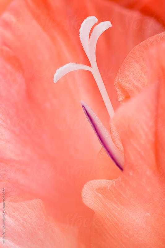 Gladiola blossom, closeup by Mark Windom for Stocksy United