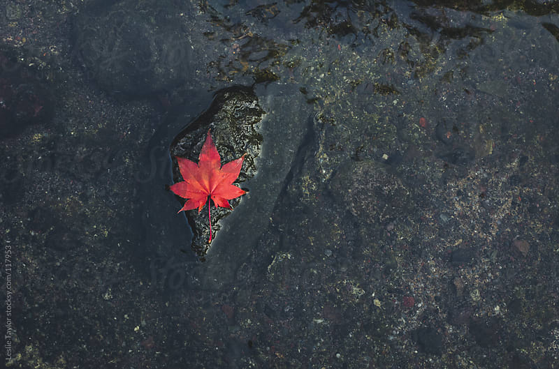 Red Leaf On The Rocks by Leslie Taylor for Stocksy United