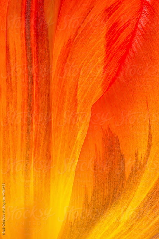 Backlit tulip petal abstract, closeup by Mark Windom for Stocksy United