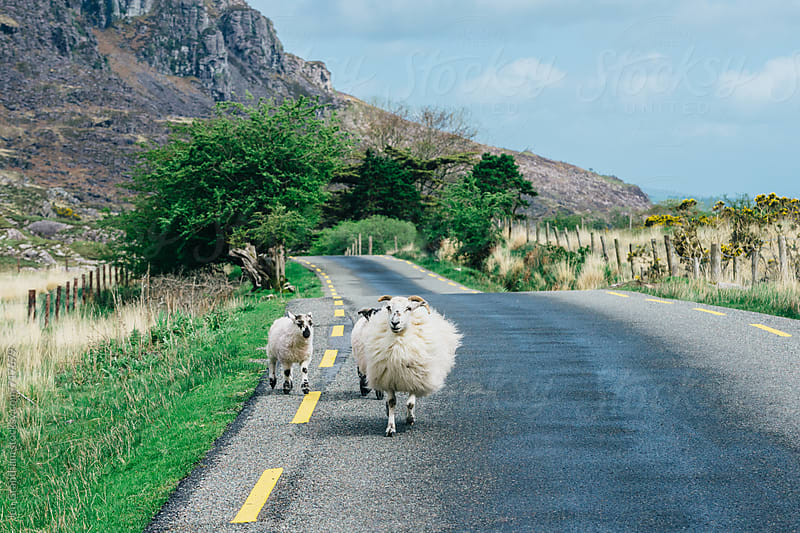 Sheep in the Gap of Dunloe by Jen Grantham for Stocksy United