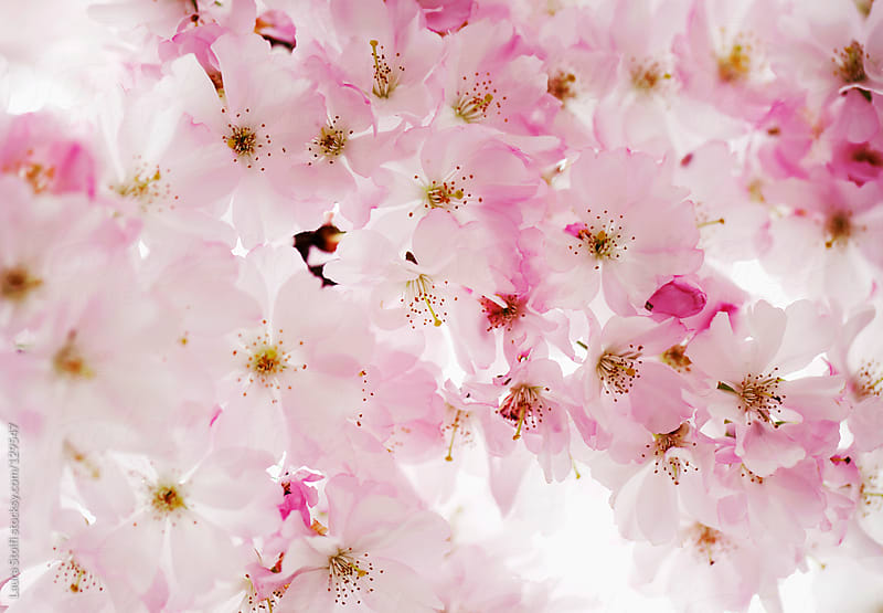 Japanese Cherry Tree in blossom by Laura Stolfi for Stocksy United
