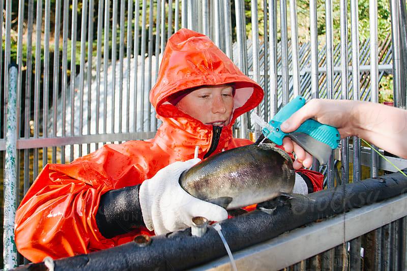 Female fishery biologist tagging sockeye salmon by Mihael Blikshteyn for Stocksy United