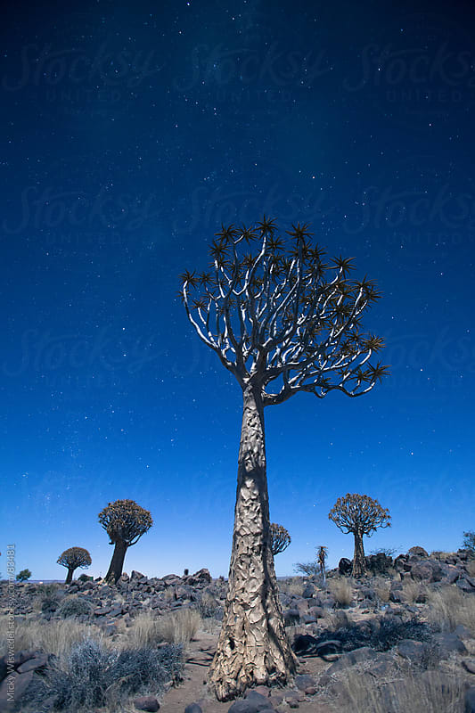 Quiver tree at night by Micky Wiswedel for Stocksy United