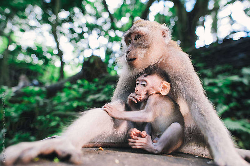 Adult long-tailed macaque being and her baby by Gary Radler Photography for Stocksy United