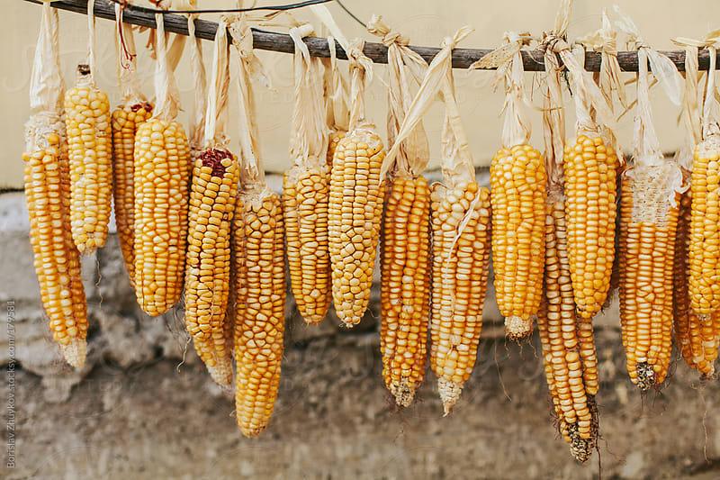 Dried corn  by Borislav Zhuykov for Stocksy United