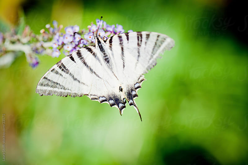 Macro catch of a Scarce Swallowtail butterfly on butterfly's bush flower in summer garden by Laura Stolfi for Stocksy United