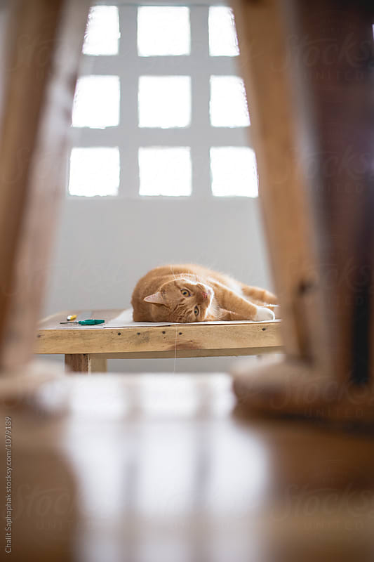 Orange Cat by Chalit Saphaphak for Stocksy United