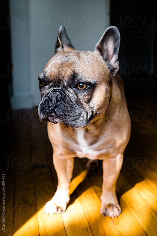Brown French Bulldog standing in sunlight by J Danielle Wehunt for Stocksy United
