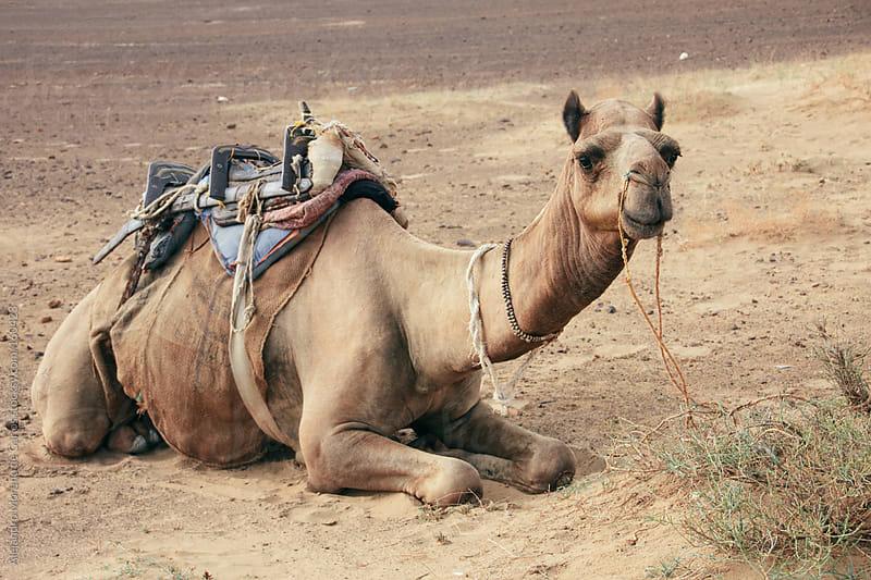 Camel in desert by Alejandro Moreno de Carlos for Stocksy United