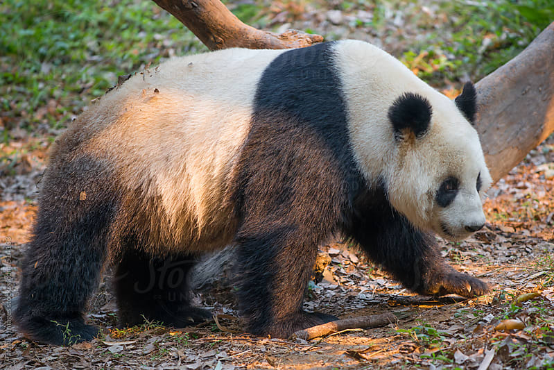 A giant panda with sunlight by Pansfun Images for Stocksy United