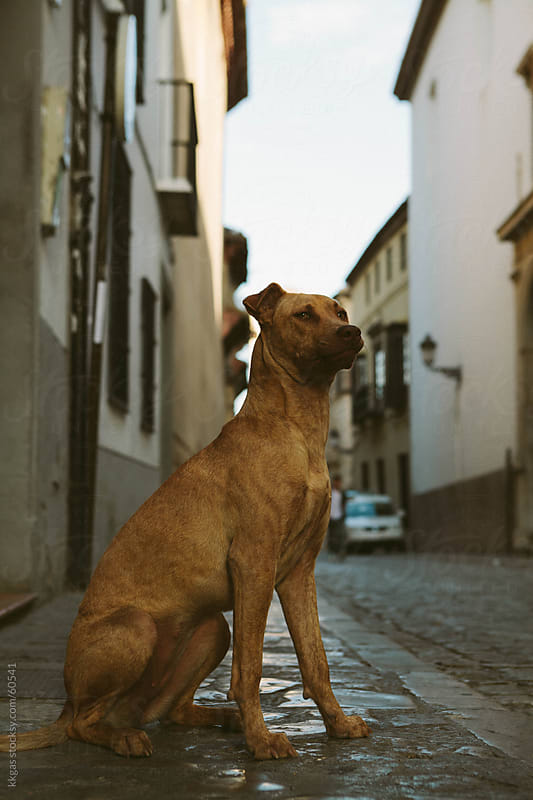 Stray dog in a street. by kkgas for Stocksy United
