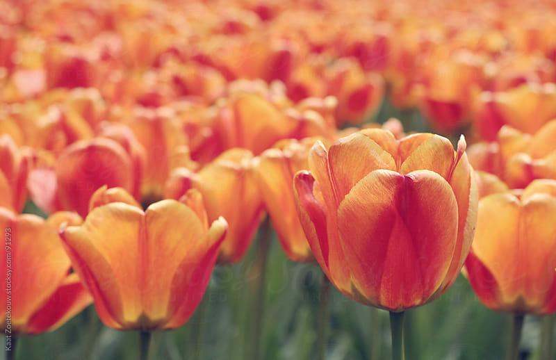 Bed of orange tulips during Springtime in the Keukenhof Gardens, The Netherlands.  by Kaat Zoetekouw for Stocksy United