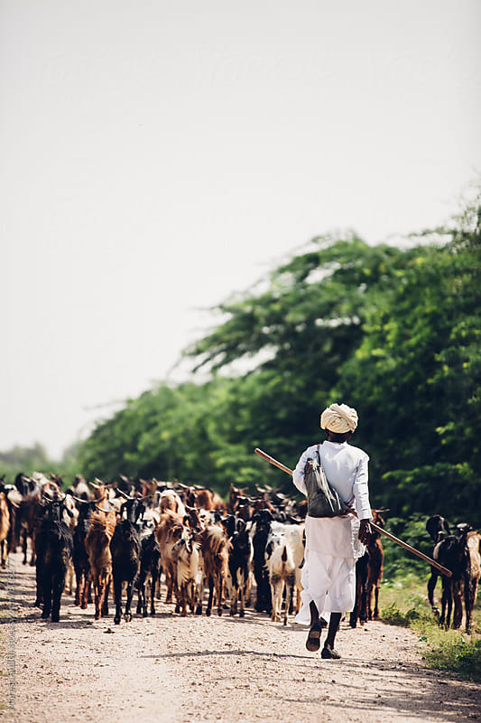 An Indian shepherd walking away on the dusty road with his herd of goats by Maresa Smith for Stocksy United