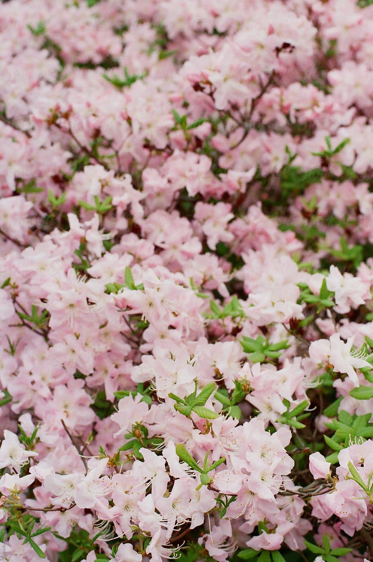Pastel Pink Flower Background By Lyuba Burakova Flower Pink