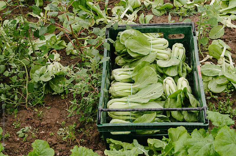 freshly harvested bok choy in a crate in a field by Deirdre Malfatto for Stocksy United